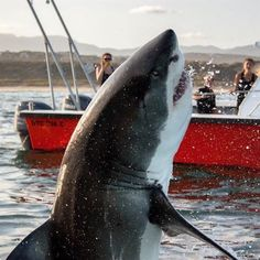 Credit to : Lucky crew witnessing a very close breaching white shark, South Africa Photographed by Shark Pictures, Shark Photos, Megalodon, Orcas, Shark Bait, Shark Fish, Great White Shark, Ocean Creatures, Mundo Animal