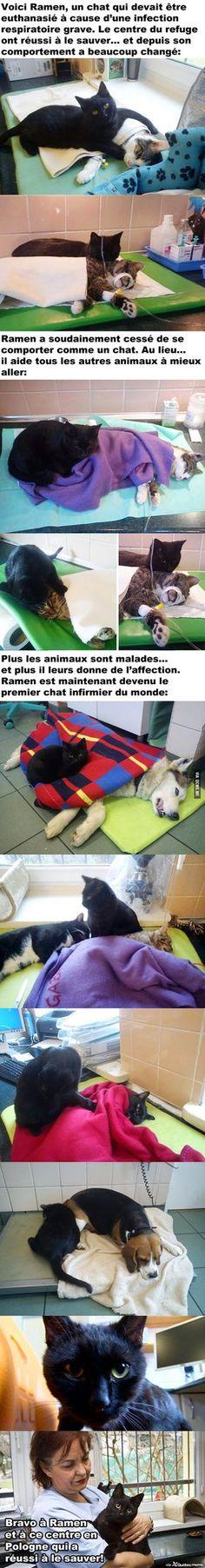 L'histoire de Ramen, le premier chat infirmier aidant les autres animaux à mieux aller!