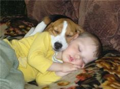 12 Realities That New Beagle Owners Must Accept #Beagle