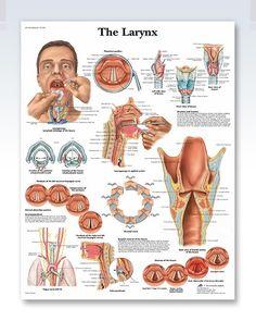 Human the Larynx System Poster Anatomical Chart Human Body Midcal Education Nursing School Notes, Medical School, Speech Language Pathology, Speech And Language, Medical Posters, Human Anatomy And Physiology, Body Anatomy, Music Classroom, Human Body
