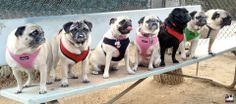 """❤ """"Get your PUGS in a row"""" ❤ Posted on Minnie Max the Pugs"""
