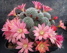 Cactus in bloom Cacti And Succulents, Planting Succulents, Planting Flowers, Cactus Planta, Cactus Y Suculentas, Plantas Bonsai, Desert Plants, Garden Shop, Cactus Flower