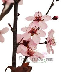 Blooming Pink Cherry Blossom Branches - 3 Bunches
