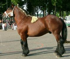 Parla is an Auxois breed, rather rare, between 15.2-16.2 hands, agile, used for farm & heavy draft work.