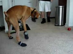 A Boxer Wears Shoes. And he's not into it - I put shoes on my dog, I thought I was gonna pee my pants I laughed so hard.