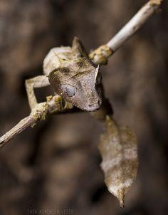 Gecko cola de hoja (Uroplatus phantasticus), Madagascar, reptil nocturno de grandes ojos que imita una hoja muerta