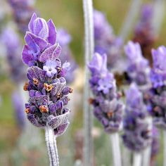 Lavender is a natural repellant of moths fleas flies and mosquitoes. Although people love the smell of lavender mosquitoes flies and other unwanted insects hate it. Place tied bouquets in your home to help keep flies outdoors and plant it in sunny areas of the garden or near entryways of your house to help keep those areas pest free. #naturalliving #nature #natural #naturalbeauty #naturalskincare #organic #organicliving #organicskincare #allnatural #allnaturalskincare #greenbeauty…