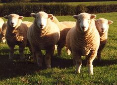 Hardy Sheep Breeds | Devon Closewool Shearling Ewes and Shearling Rams