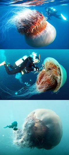 The Lions Mane Jellyfish -- largest jelly fish in the world... Found in the boreal waters of the Arctic  WHOA. GROSS!!!