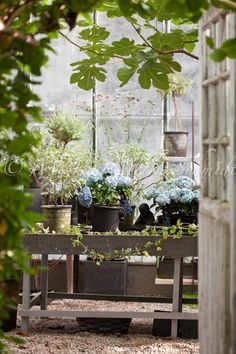 ~ beautiful cottage greenhouse with blue hydrangea Greenhouse Shed, Greenhouse Gardening, Container Gardening, Indoor Greenhouse, Magic Places, Potting Tables, Garden Living, My Secret Garden, Garden Structures