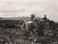 The History Place - Dorothea Lange Photo Gallery: In the Fields: Cabbage Cutting and Hauling