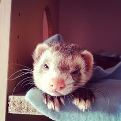 I have had ferrets for over 15 years and presently have 4 girls!