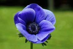 Anemone, Blue, Flower, Petals, Single, Garden