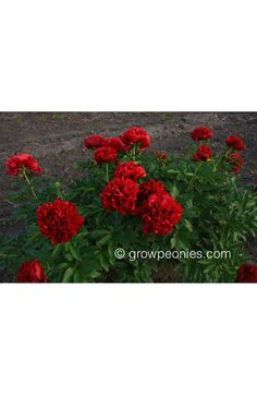 (Sass) This is a largely unknown variety that we consider to be one of the best of the true red doubles. Stems are strong, flower form is exceptional, and the color does not get any better. Buy Peonies, True Red, Red Satin, Peony, Bloom, Flowers, Peony Flower, Florals, Flower