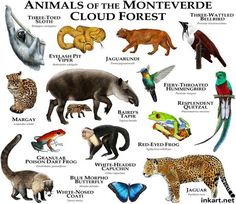Animals of the Monte Verde Cloud Forest... .....ROGER D HALL.....a scientific illustrator specializing in wildlife and architectural subjects....predominantly self-taught....works with pen and ink....artwork has appeared in numerous media (newspaper, books, website, etc)....a Minnesota native now based in Oakland, California....associated with several zoos and aquariums in the US