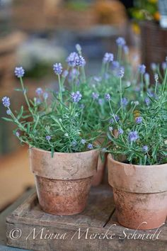 Lavender planted in clay pots