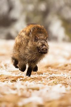 Wildschwein on the run