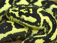 Jungle Carpet Python, (Morelia spilota cheynei). Have had the pleasure of keeping these beautiful snakes before. A trio of beautiful females and a male with a bad attitude!