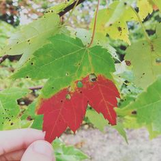 The leaves are slowly starting to change in Southern NH. It seems much later than last year. Have you noticed a late change where you live? #stirthewonder #kidsnaturehunt #explorenature #nature #kbnmoms #fall #autumn #mapleleaf by stirthewonder
