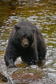 ...Black bear,...Annan Creek, Alaska