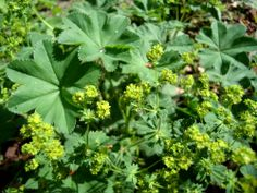 Lady's Mantle (Alchemilla mollis / Alchemilla vulgaris)  NL: Vrouwenmantel / F: Alchémille