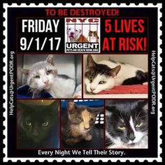 "TO BE DESTROYED 9/1/17 - - Info  Please share View tonight's list here: http://nyccats.urgentpodr.org/tbd-cats-page/. The shelter closes at 8pm. Go to the ACC website( http:/www.nycacc.org/PublicAtRisk.htm) ASAP to adopt a PUBLIC LIST cat (noted with a ""P"" on their profile) and/or … CLICK HERE FOR ADDITIONAL…Please…Please...-  Click for info & Current Status: http://nyccats.urgentpodr.org/to-be-destroyed-32017/"