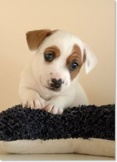 irish jack russell terrier, irish jack russell breeders