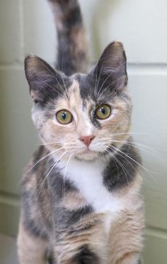 I'm a 5 month old spayed female calico or dilute calico dilute tortabby with white Domestic Short Hair. I'm a 5 month old spayed female calico or dilute calico dilute tortabby with white Domestic Short Hair. Pretty Cats, Beautiful Cats, Animals Beautiful, Beautiful Pictures, Cute Cats And Kittens, Kittens Cutest, Ragdoll Kittens, Tabby Cats, Bengal Cats