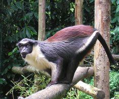 Dryas Monkey (Cercopithecus dryas)