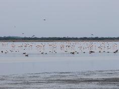 rann of kutch flamingos