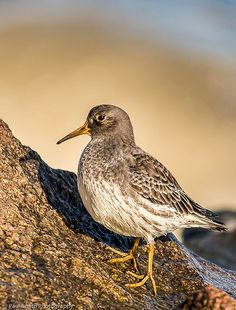 Purple Sandpiper (Calidris maritima) is found in the northern tundra and arctic islands of Canada, Greenland and Northwestern Europe.