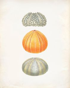 Vintage Sea Urchin Shell Print 8x10 P196 by OrangeTail on Etsy, $14.00