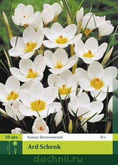 Крокус Ард Шенк (Ard Schenk) ботанический 50 шт.