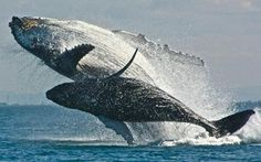 Spectacular photo of mother and calf  Humpback whales breaching off the coast Of Brisbane