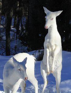 Albino Whitetail Deer by lif,com via flickr