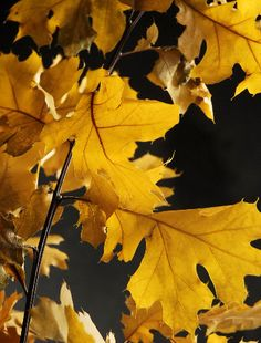 """Natural Preserved Black Oak 24"""" Branches Yellow Leaves (4-6 branches)"""