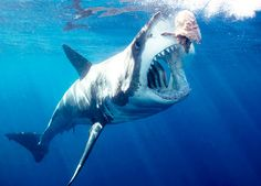 Carcharodon carcharias - Great White Shark