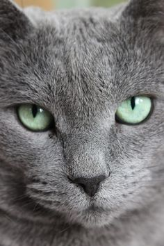 If you are looking for a truly unique and beautiful kitten you don't have to look much further than the Russian Blue breed. Delightful Discover The Russian Blue Cats Ideas. Cool Cats, I Love Cats, Beautiful Cats, Animals Beautiful, Cute Animals, Animals Images, Gatos Cats, Photo Chat, Nebelung