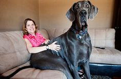 Funny Images Of The World's Tallest Dog Zeus, holy cow that dog is HUGE