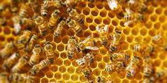 Pszczoły pracują na woskowym plastrze
