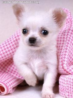 Teacup Chihuahua Breeders | chihuahua breeders maryland