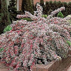 Love this shrub.  It looks great and doesn't get too big.  Adds beautiful colors from late spring though fall to your landscape.  The arch-shape also adds a unique look to your garden. Bought mine from SpringHillNursery.com.  They are small when you get them, but healthy, priced right and grow quickly.
