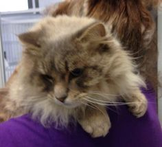 2 / 28     Petango.com – Meet Bobby, a 5 years American Bobtail available for adoption in FRAZIER PARK, CA