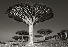 Situated in the Arabian Sea off the horn of Africa, ruled by Yemen, the island of Socotra is home to over 700 native plants and animals found nowhere else on the earth. Most astonishing are the trees!   Living up to 500 years, the mythical dragon's blood tree with vertical trunk and arching canopy could easily be imagined as an umbrella blown inside out.