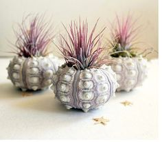 air plant urchin terrariums