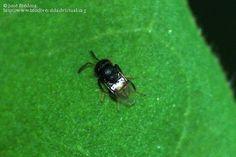Título: Parasítica, Chalcidoidea, Encyrtidae, unos tres milímetros..., Provincia/Distrito: Jaén, País: España, Fecha: 12/10/2011, Autor/a: José Biedma L.