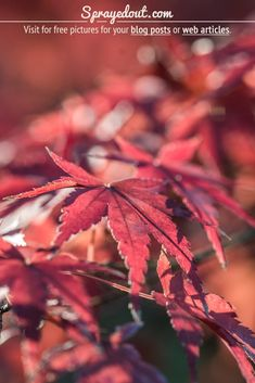 Autumnal Red Leaves of a Japanese Maple Tree in Imperial Palace, Tokyo Close Up Pictures, Stock Pictures, Beautiful Pictures, Stock Photos, Fall Leaves Pictures, Fall Pictures, Nature Images, Nature Pictures, Imperial Palace