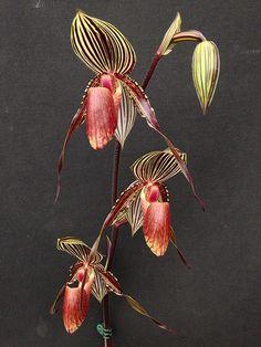 Paphiopedilum William Ambler (rothschildianum x wilhelmina…   Flickr