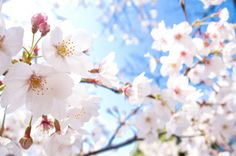 Cherry blossoms are Japan's national flower.