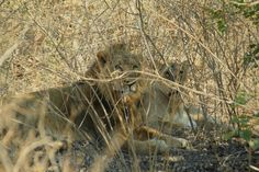 Asiatic lion and lioness (Panthera leo persica) at Gir National park India. Asiatic Lion, Lion And Lioness, Leo, National Parks, Lion Sculpture, India, Horses, Statue, Animals